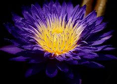 prettylittleflower:    Water Lily (by j man (Thanks for your support!))