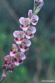 Gladiolus serpenticola