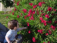 Yikes! I removed my oleanders from the yard once my child was born, as to keep it away from curious hands.   Now that the child is old enought not to put everything in his mouth maybe this year I will put one in the yard.  I so loved the appearance of the blossoms, and it was a hearty plant.