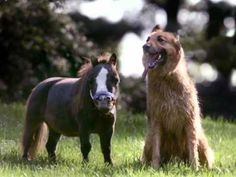 Big Jake and Thumbelina made horse history when they were announced by the Guinness World Records as the tallest, and smallest horses in the world. Mini Pony, World Birds, Horses And Dogs, Guinness World, Medium Sized Dogs, Horse World, Small World, Animals, Image