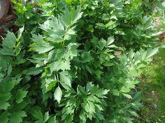 Jak uchovat libeček na zimu | recept na domácí polévkové koření. Libeček je vytrvalá rostlina vysoká asi 2 metry. Pochá