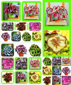 [Visit to Buy] Sale! 100 Seeds/Pack Beautiful Begonia flower seeds flowers potted bonsai garden courtyard balcony Coleus seeds #Advertisement