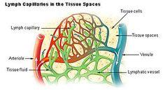 Sistema circolatorio linfatico - Wikipedia