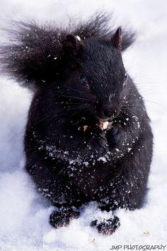 Black Squirrel - we have these and the reddish orange squirrels