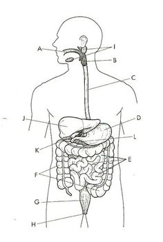 Digestive System Unlabeled (note: you are not responsible