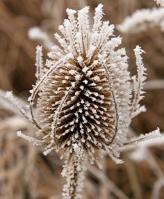 Frosted teazle, near Row Wood, Holybourne, Hampshire, Great Britain. Photo by Hugh Chevallier