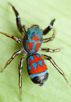 """Scytodes globula."" Cool Insects, Bugs And Insects, Scary Animals, Nature Animals, Spider Species, Reptiles, Itsy Bitsy Spider, Cool Bugs, Jumping Spider"
