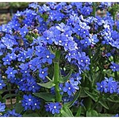 blue forget me not flowers for shade