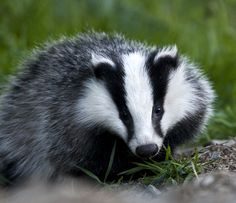 Badger, an animal name that fits its disposition