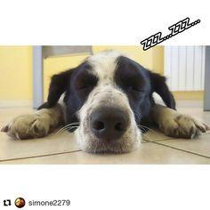 Modalità Milanese Imbruttito: on Allora raga la situa è praticamente questa ho un meeting tra un'ora e ho così sonno che non ce la posso fare. Sfaso! . . #Repost @simone2279 with @repostapp  #macro #Sony #xperia #z1 #cane #dog #sonno #nanna #dogsofinstagram #cani #dogs #amazing #insta_dog #doglover puppy #Milano #bausocial #tgif #friday #love #milaneseimbruttito #dogphotography #dormo