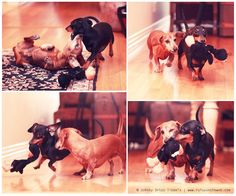 Action shot Monday. http://wp.me/p27Fw1-KB #dachshund #doxies #doxieplay #dachshundactionshots