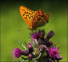Silver-washed Fritillary - Flickr - Photo Sharing!