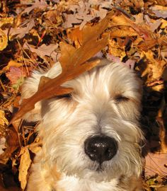 I love fall, I love dogs... 42 pictures of dogs playing in leaves!