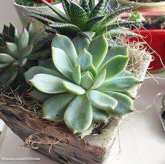 She's so pretty😍 Anybody got an ID for me? . . . #succulent #succulentlover #succulentsofinstagram #succulentaddict #succulenthoarder #instapic #instadaily #instalike #instagood #instaphoto #pretty #plantlife #vsco #vscogood #vscocam #vegan #vegetarian #plants #plant #plantmom #plantlady #plantlife #greenthumb #garden #pottedplants #cactus #cacti #propagation #beautiful #succulents