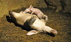 Baby Aardvark at Bioparc Valencia First Ever Born in Spain