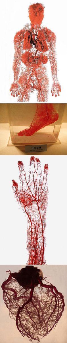 Medical Science, The Human Body, Inside Human Body, Human Head, Welt, Bodies Exhibit, Heart Human Anatomy, Blood Vessels Anatomy, Blood Art