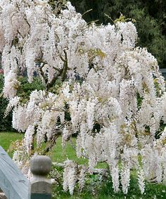 Look at this Live 'White' Wisteria Vine on #zulily today!