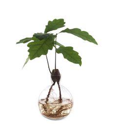Estrid Ericson acorn vase & how to sprout acorns; Gardenista