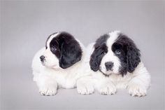 These Newfoundland puppies will grow up to be large dogs who excel at long-distance swimming. This breed has strong lifesaving instincts. Their sweet disposition makes them a good fit for families. These puppies are the Landseer type of Newfoundland, white with black markings.
