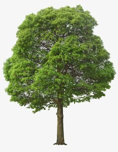 Architectural Rendering Trees Photoshop Shrubs Elevation Photoshop Transparent Trees Tree PSD PSD Images of Tree Branches Landscape Elements, Landscape Architecture, Landscape Design, Tree Psd, Lush, Tree Photoshop, Tree Clipart, Tree Sketches, Mango Tree