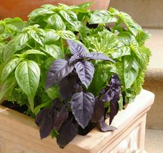 Basil- Once the seedlings have reached a height of around 3 or 4 inches, pinch out the top most leaves as this will encourage the basil plant to produce lateral shoots, helping it to bush out.  As the plants continue to grow, remove any flower buds or the flavor will be bitter.