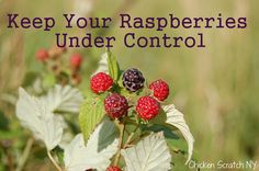 Clip Back Your Raspberries for a Neat Berry Patch and Easier Picking