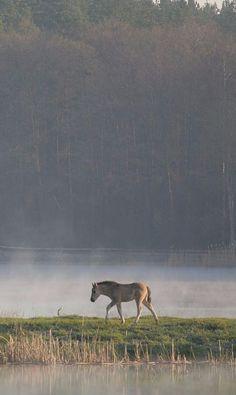 Poland, Roztocze National Park The Polish Pony - breed of primitive horse in Poland.
