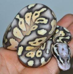 Super Pastel Lesser Ball Python by Samantha Gage Reptiles Pretty Snakes, Beautiful Snakes, Cute Reptiles, Reptiles And Amphibians, Python Royal, Milk Snake, Ball Python Morphs, Cute Snake, Snake Art