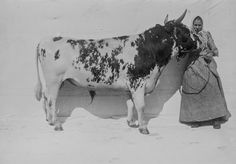 1899 Finnish cow portraits photographer I. Inha The 1900 Paris World's Fair Cow Photos, Poses For Pictures, Sweet Cow, Portrait Photographers, Portraits, Camera Obscura, Glamour Shots, World's Fair, Prado
