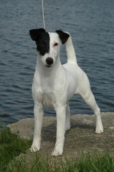 Smooth Fox Terrier - - - -smart, busy, affectionate, and very cool dogs!