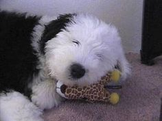 Old English Sheepdog Information, Pictures of Old English ...