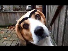 Perros con cejas falsas