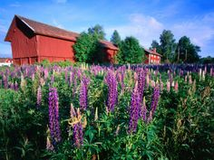 Field of Flowering Lupins and Traditional Red Farm Building, Floda, Dalarna, Sweden