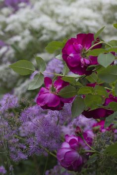 Rose Chianti & thalictrum (meadow rue)