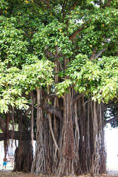Banyan Tree, India - The national tree of India, the banyan trees are seen as sacred by the Hindus because of its medicinal value to treat and cure diseases. The look of the tree is distinct because of its tangle of branches, roots, and trunk.