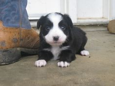Black bi male toy aussie puppy pictured at 3 1/2 wks. Ready for his new home Valentines Day!