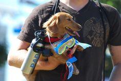 Scooba dog! #dachshund #teckel #doxie