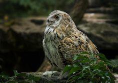 Siberian Eagle Owl | Flickr - Photo Sharing!