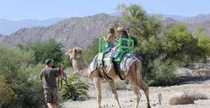 Camel Rides Return to The Living Desert Nov 20, 2013 to Jan 11, 2014 10:00 am until 4:00 pm