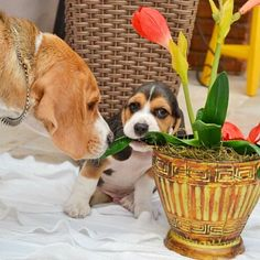 Stop That!  Beagles are not plant eaters!