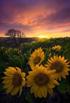 Sunflowers and Sunset, Washington