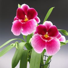 Miltonia orchid flowers - This very fragrant beauty is easy to care for and the flowers are a sight to behold.
