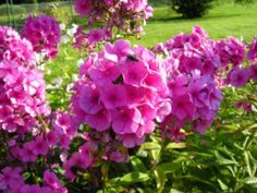 Schattenbeet: Phlox – Eine sehr anspruchslose Pflanze