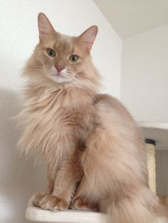 wakening... (the somali cat)