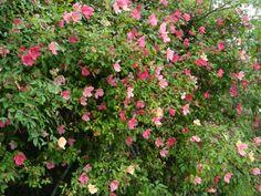 Rosa chinensis Mutabilis - China