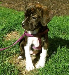 Maddie the Beagle/Boston Terrier...I want her!