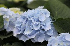 Hydrangea 'Verena® Blue'