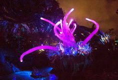 The fictional plant life on the moon of Pandora light up at night thanks to their bioluminescent quality. The plant is part of the landscape in the new 12-acre land Pandora: The World of Avatar at Disney's Animal Kingdom theme park in Florida. (Photo by Mark Eades, Orange County Register/SCNG) Taken in Orlando at Disney's Animal Kingdom on Wednesday, May 24, 2017.