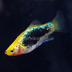 Painted Platy