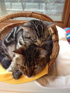猫の日だし。上がモモコ。9ヶ月。下がミランダさん4歳。